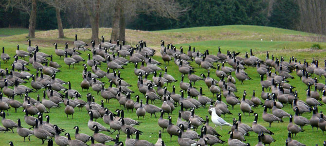 GEESE – Menace of the Golf Course